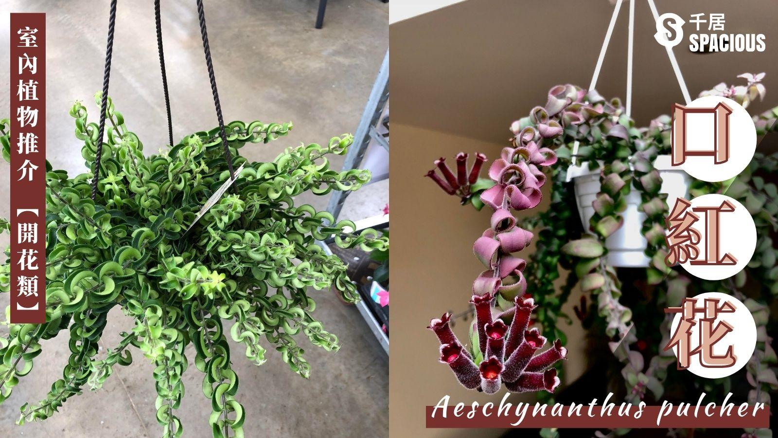 室內植物-口紅花