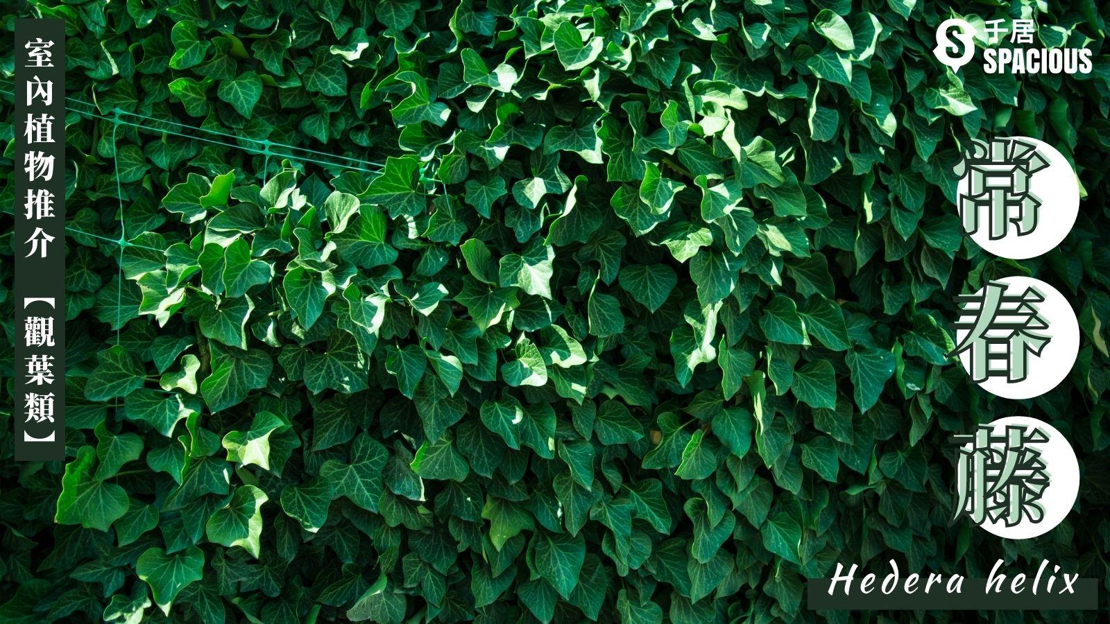 室內植物-常春藤