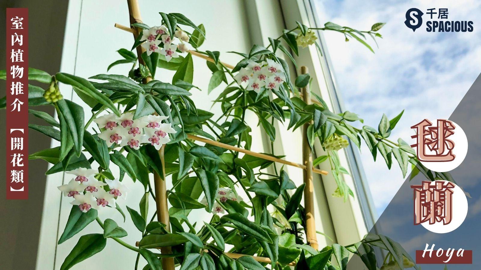 室內植物-毯蘭