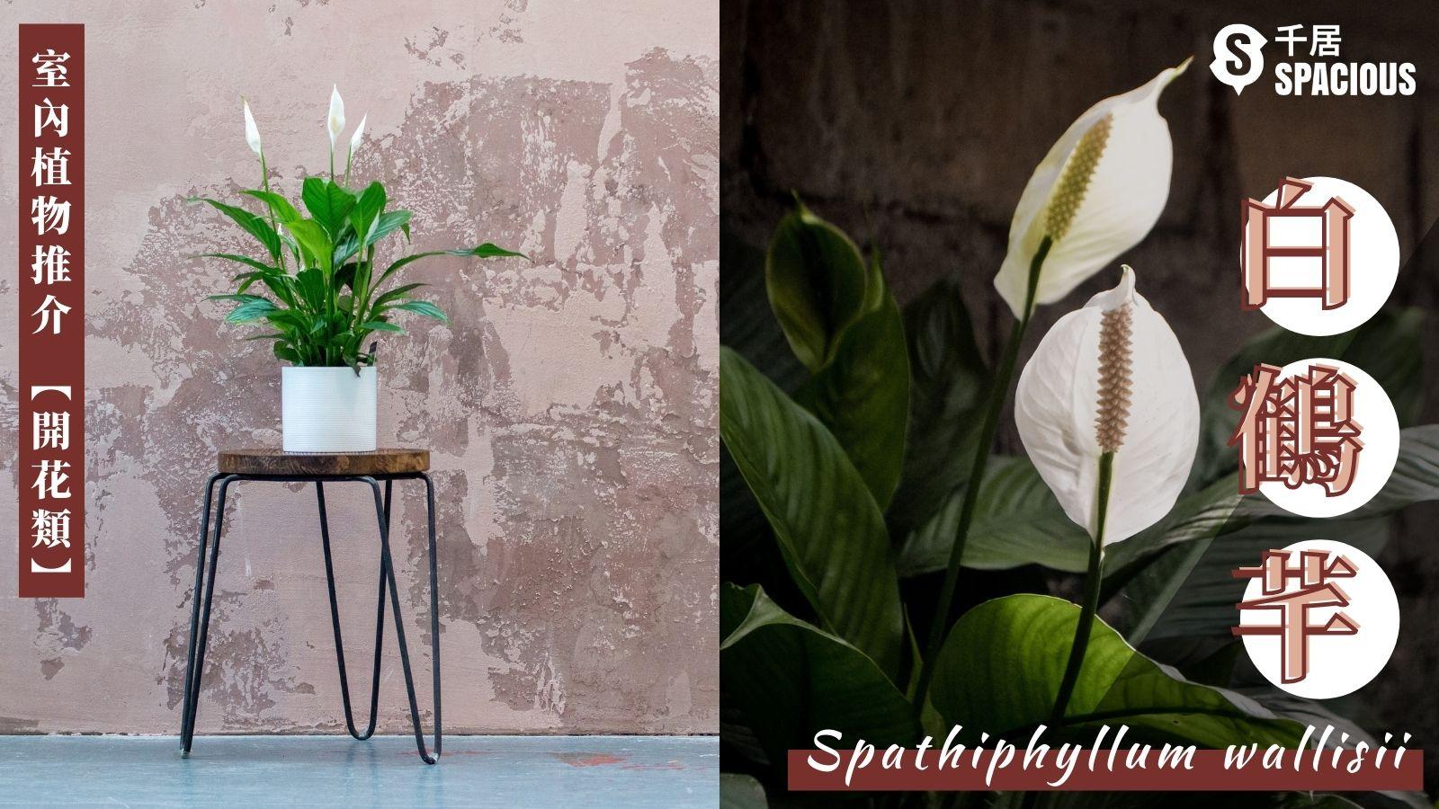 室內植物-白鶴芊