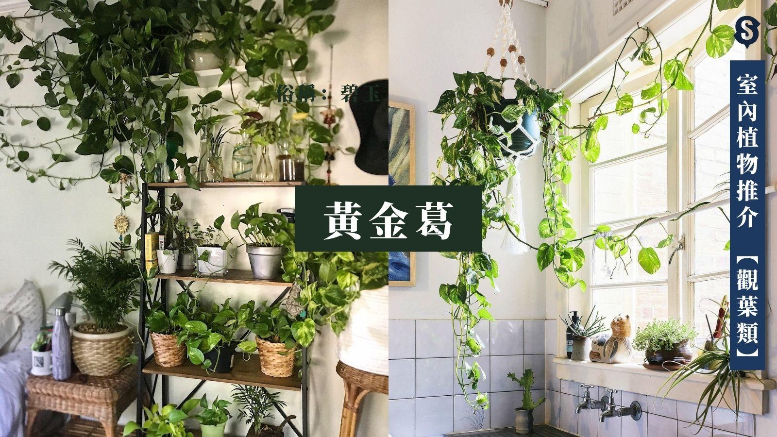 室內植物-黃金葛-室內種植-水種植物