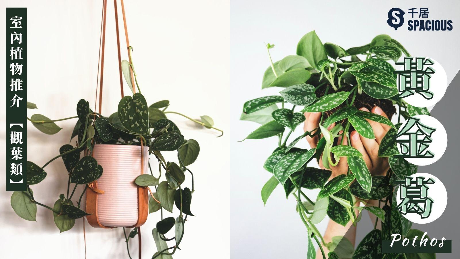 室內植物-黃金葛-Pothos
