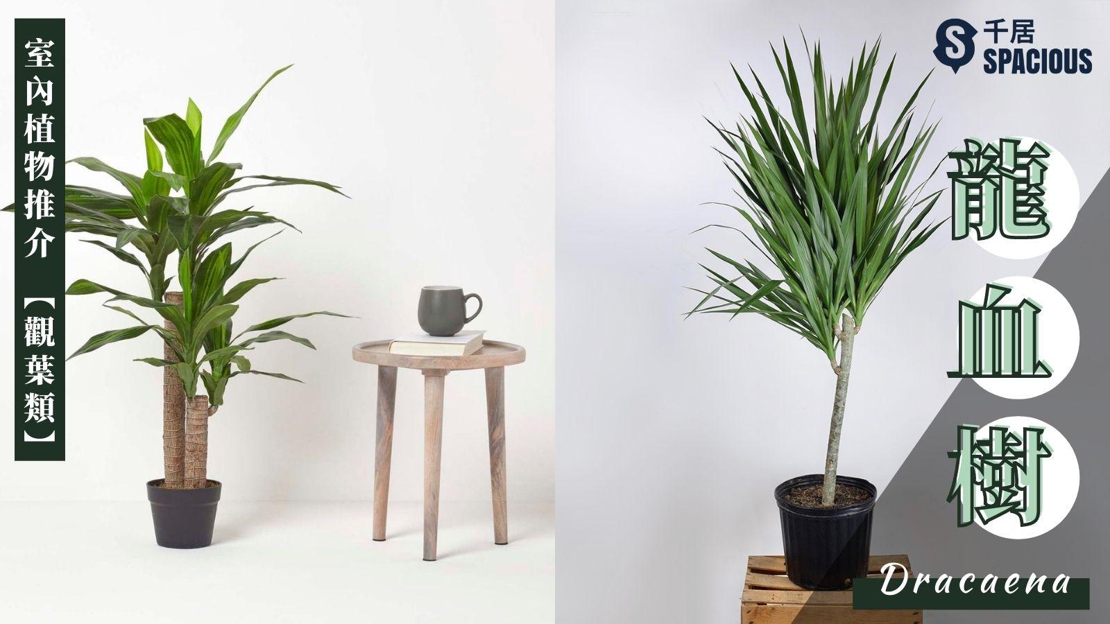 室內植物-龍血樹-Dracaena
