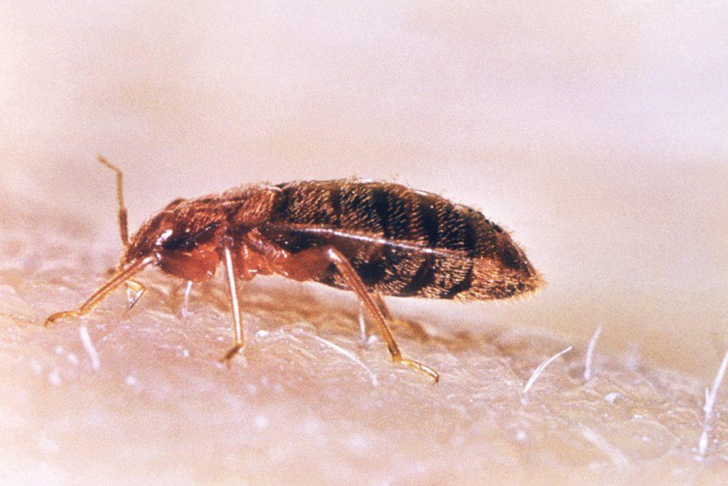 床蝨-木蝨